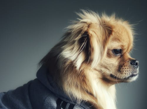 Darmowe zdjęcie z galerii z model, modelowanie, pies, pies pokojowy