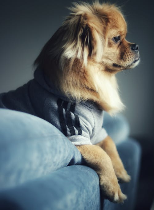 Side View Photo of Brown Dog in Gray Sweater Leaning on Couch Backrest