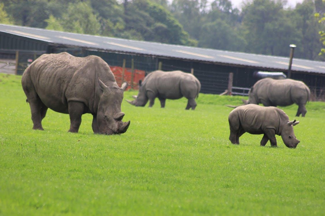Rinocerontes pastando