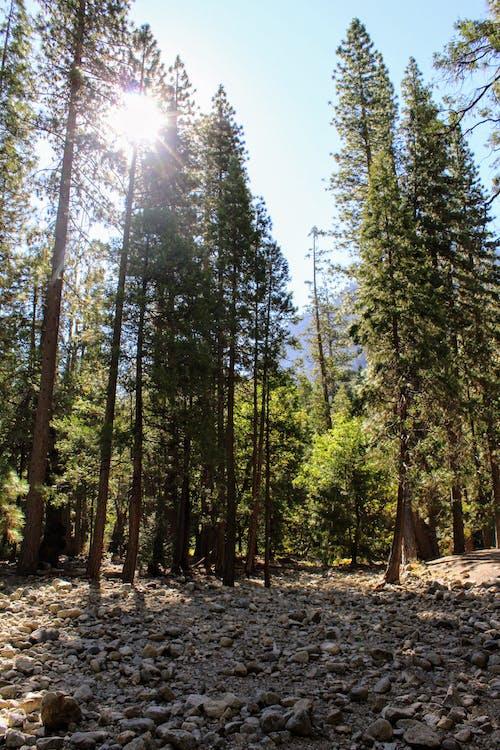 Бесплатное стоковое фото с вечнозеленый, высокие деревья, деревья, дневное время
