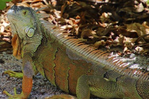 Fotobanka sbezplatnými fotkami na tému farebné iguana