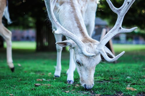 Photo of Deer Eating Grass