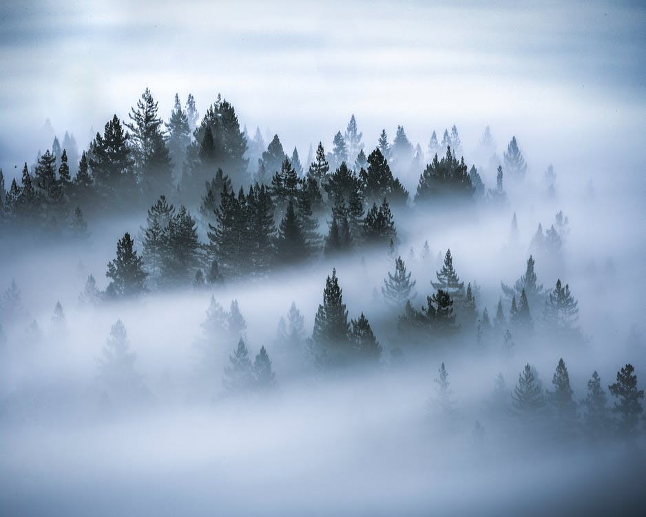 안개로 뒤덮인 소나무 사진
