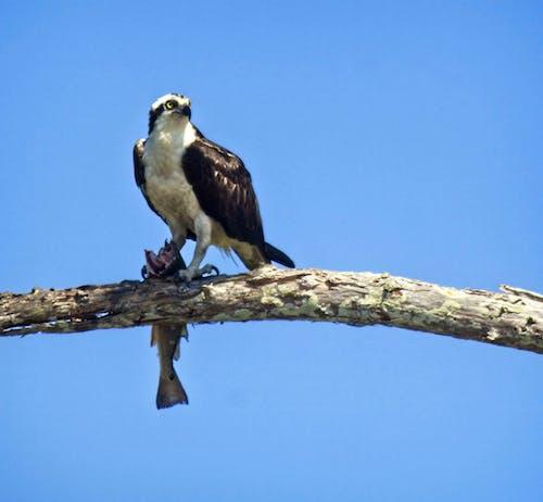 Foto d'estoc gratuïta de #eagle #birdofprey #wildlife