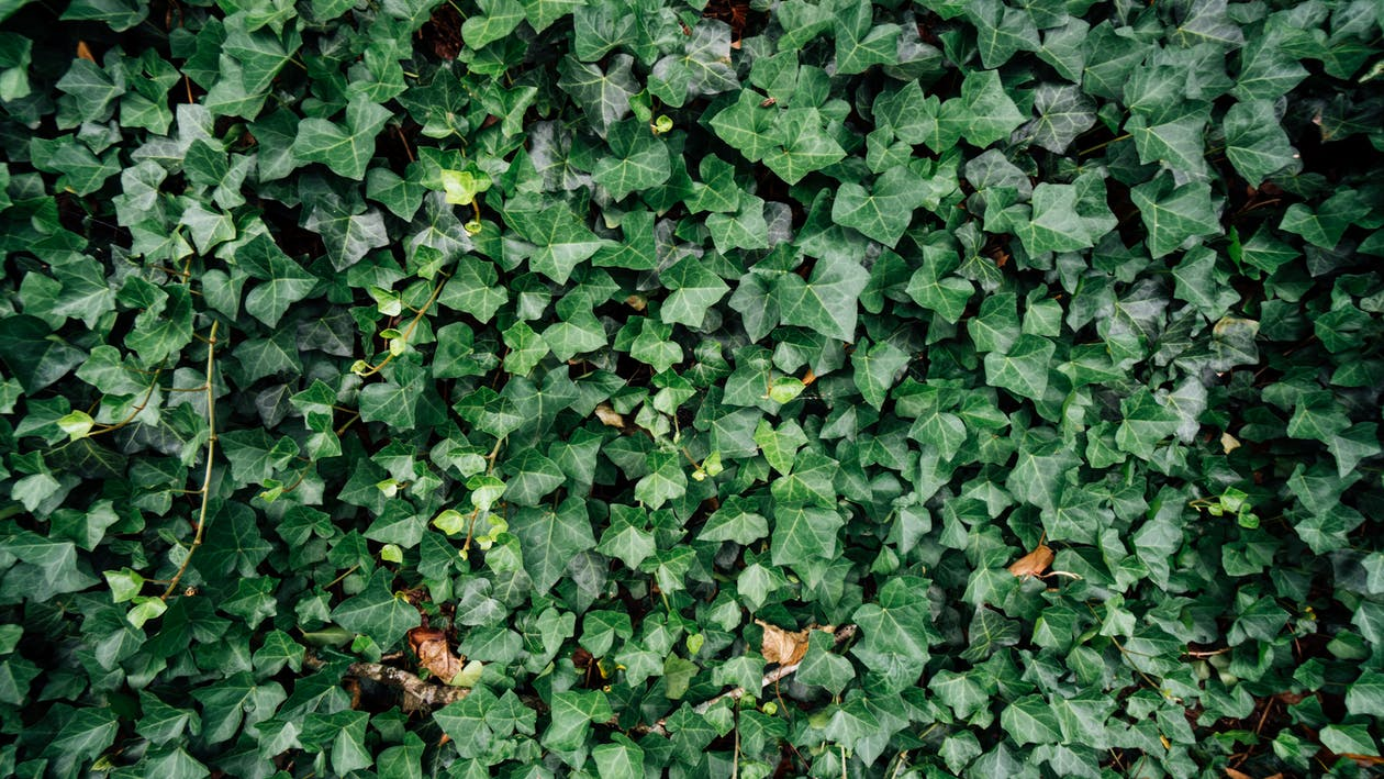Photo of Ivy Plants