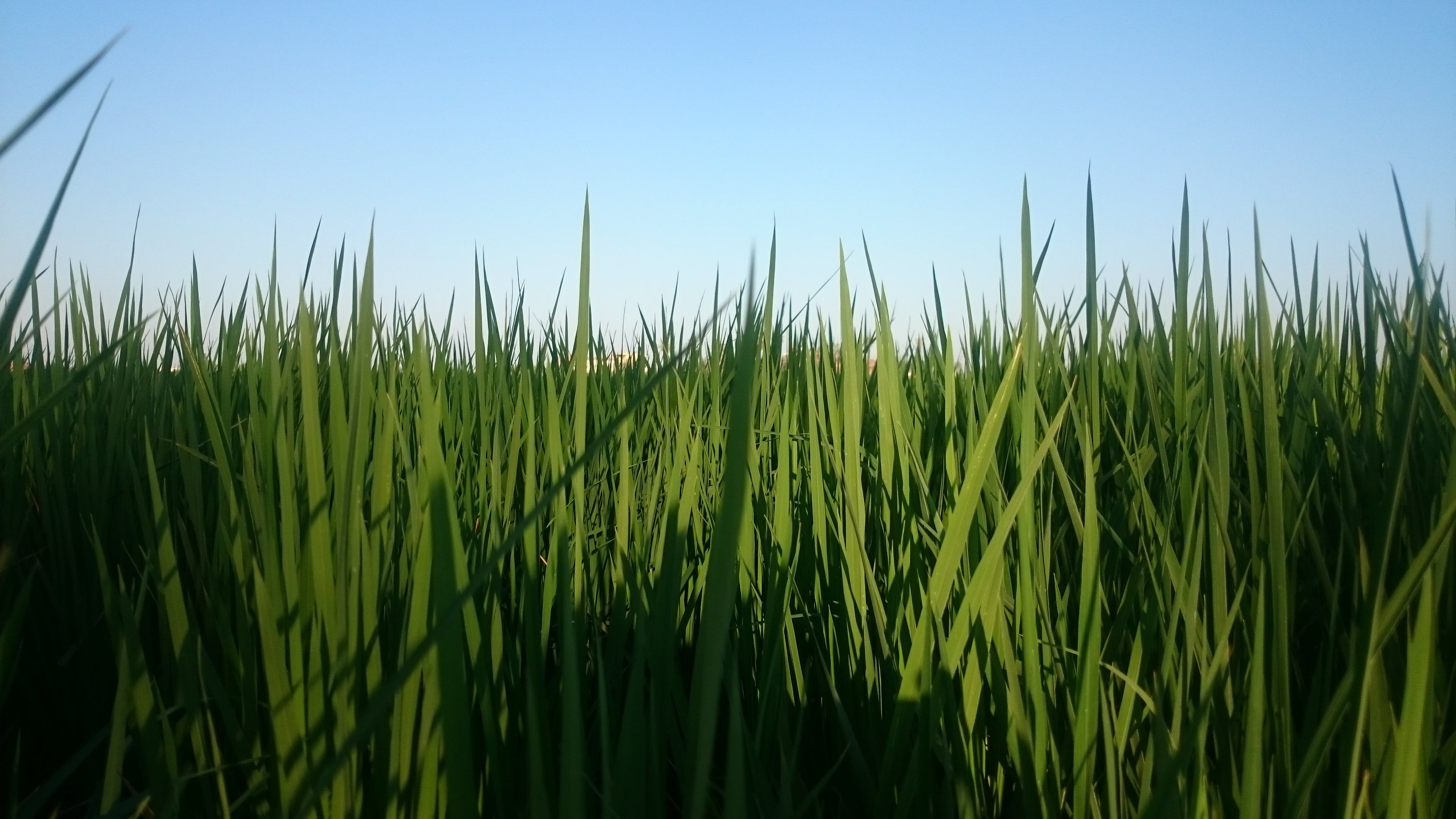 Close-up of Grass on Field Against Clear Sky