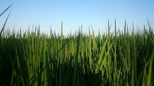 Безкоштовне стокове фото на тему «#plant_rice, #sky, #рослина»