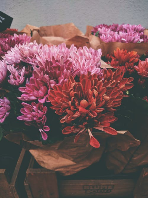 Foto d'estoc gratuïta de bellesa, colorit, Crisantem, empaquetar