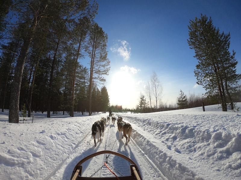 Go dog sledding in Lapaland