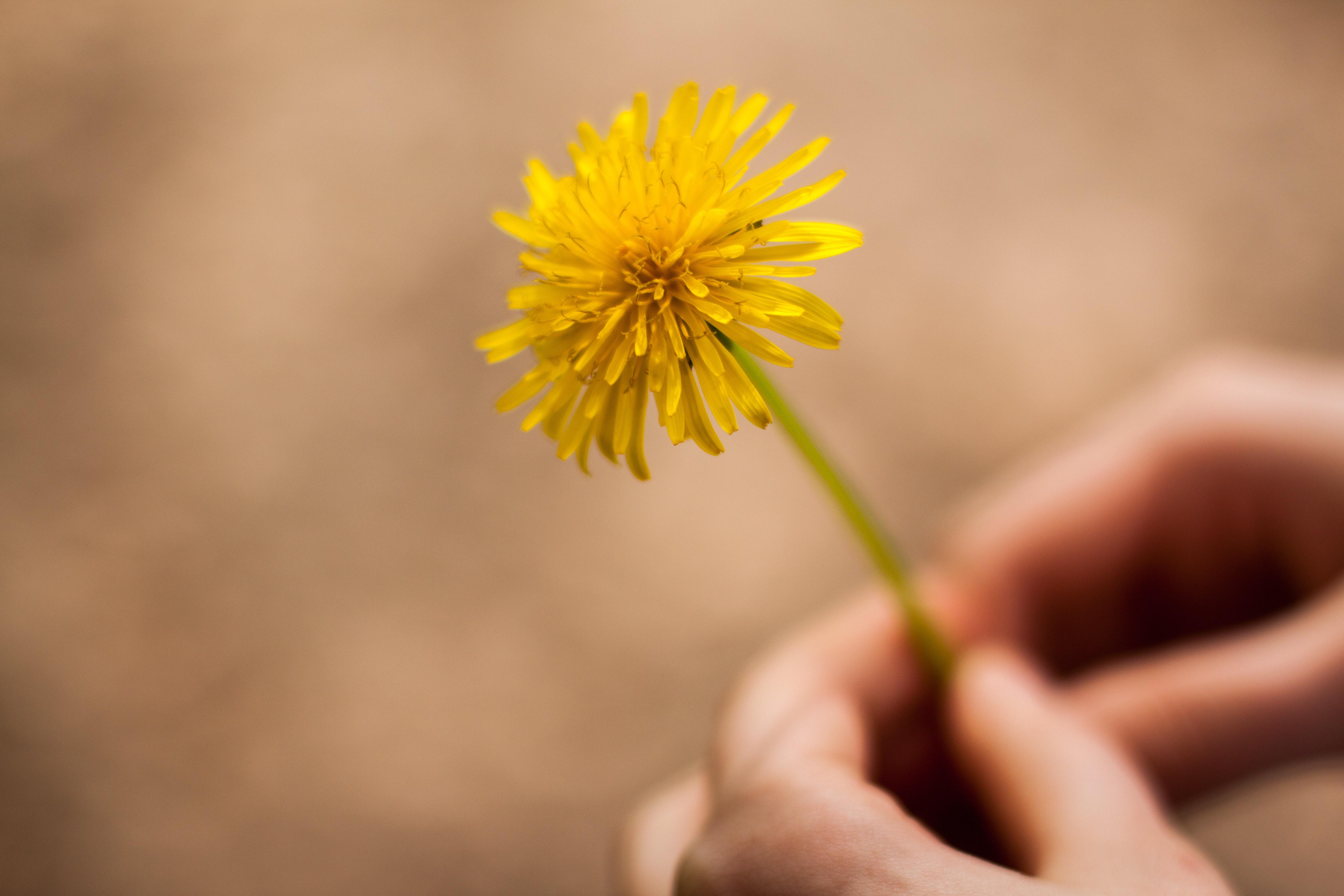 dandelion-for cure of coronavirus