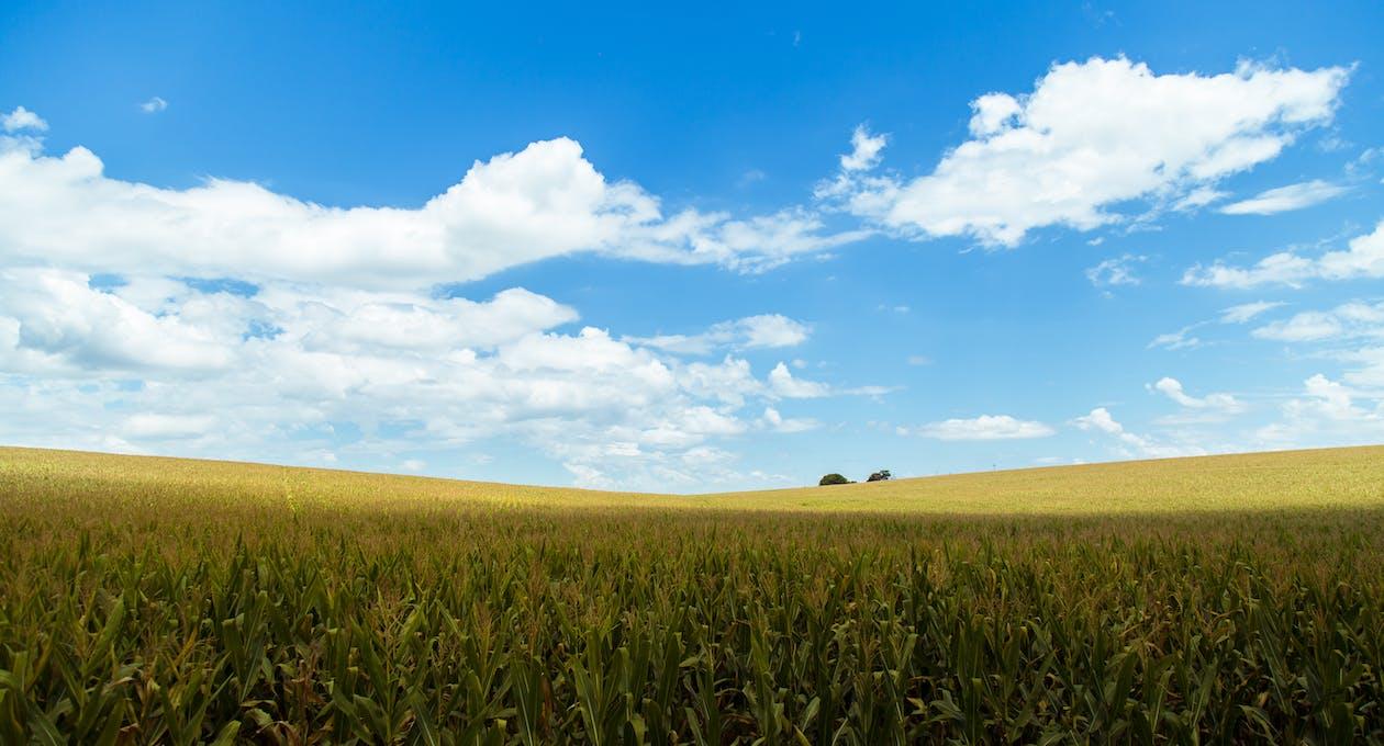 голубое небо, за городом, зерновые
