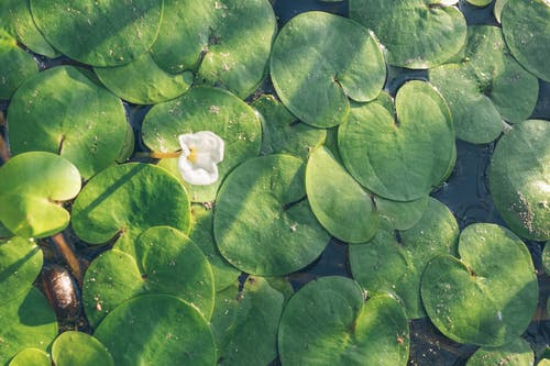 Free stock photo of lake, summertime, Water Lilies
