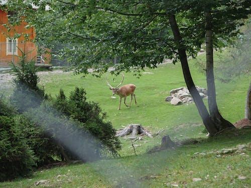 Immagine gratuita di animale, cervo, fauna selvatica, palco di corna