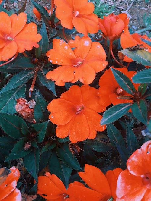Δωρεάν στοκ φωτογραφιών με άνθη πορτοκαλιάς, όμορφα λουλούδια, πορτοκάλι, πορτοκαλί άνθος