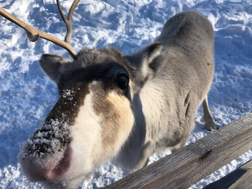 Free stock photo of reindeer