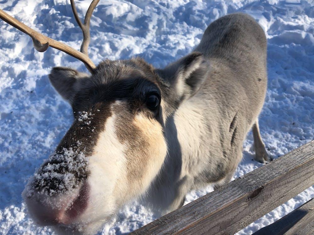 Gratis arkivbilde med reinsdyr