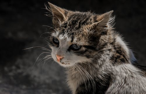 Close-Up Photo of Tabby Cat