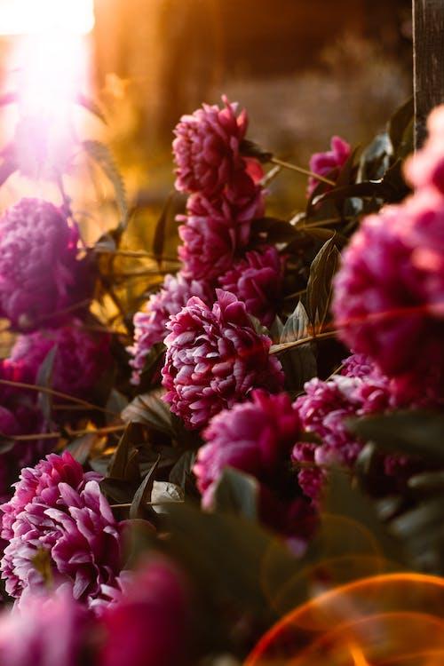 과꽃, 꽃, 꽃잎, 식물의 무료 스톡 사진