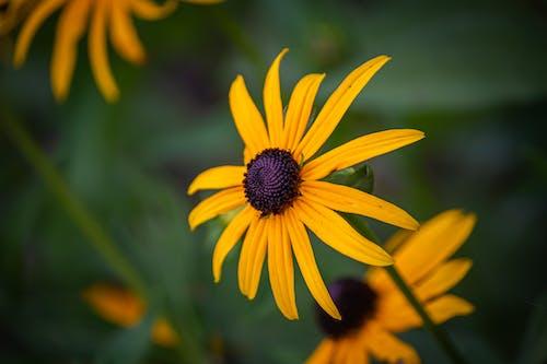 คลังภาพถ่ายฟรี ของ การถ่ายภาพกลางแจ้ง, ดอกทานตะวัน, ปิด, พืช