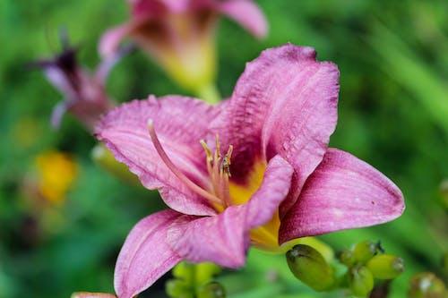 คลังภาพถ่ายฟรี ของ ข้างนอก, ซูม, ดอกไม้สีชมพู, ปิด