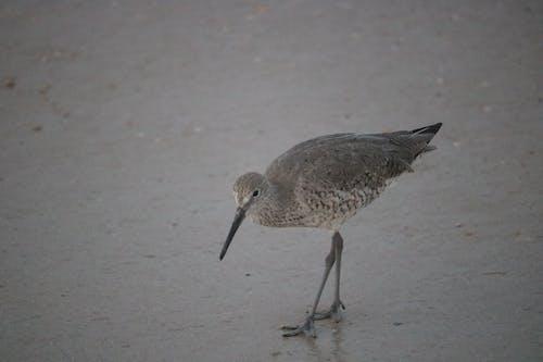 도요 물떼새, 바다, 새, 해변의 무료 스톡 사진