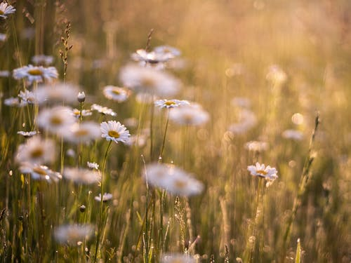 Selective Focus Photo of Oxeye Daisies