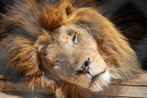 Gratis lagerfoto af dyr, dyreliv, løve, rehabilitering