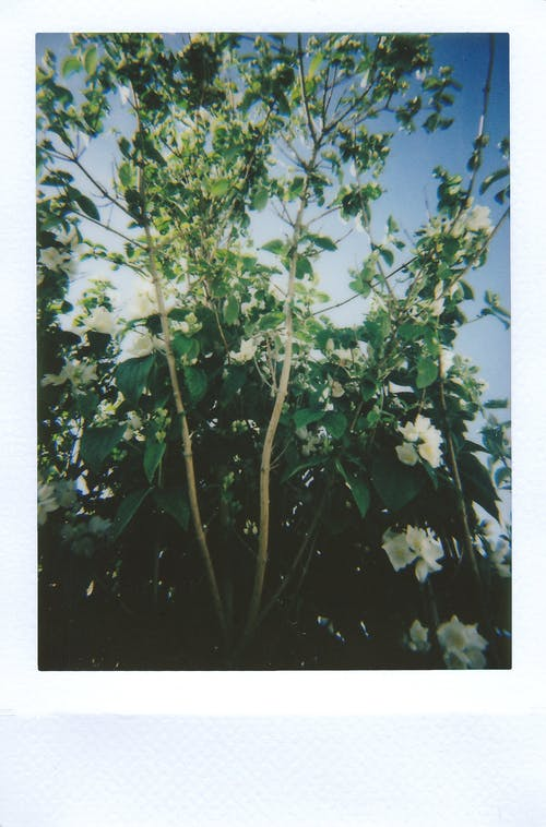 Δωρεάν στοκ φωτογραφιών με polaroid, ανάπτυξη, ανθοφόρα φυτά, δέντρο