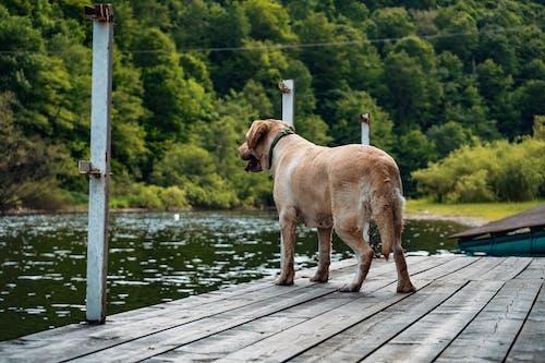 Kostenloses Stock Foto zu anlegesteg, behaart, canidae, dock