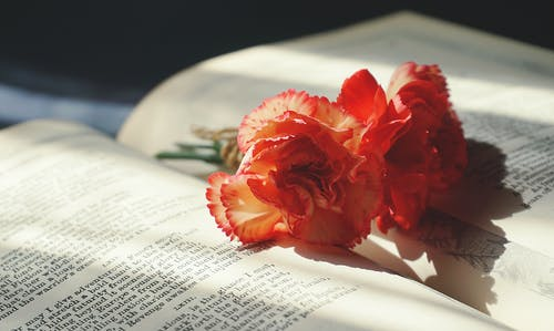 Immagine gratuita di fiore di garofano, fiori, flora, floreale