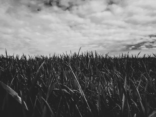 Foto stok gratis awan, awan putih, gandum, hitam dan putih