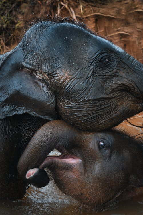 Two Black Elephant in Body of Water