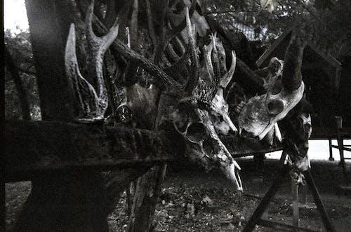 Foto d'estoc gratuïta de 35, 35 mm, animals, cranis