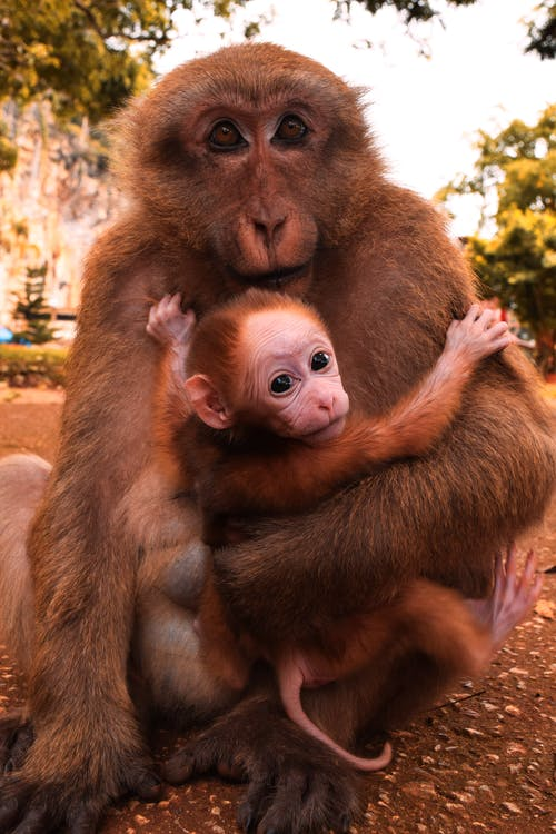 Brown Monkey Holding Baby Monkey