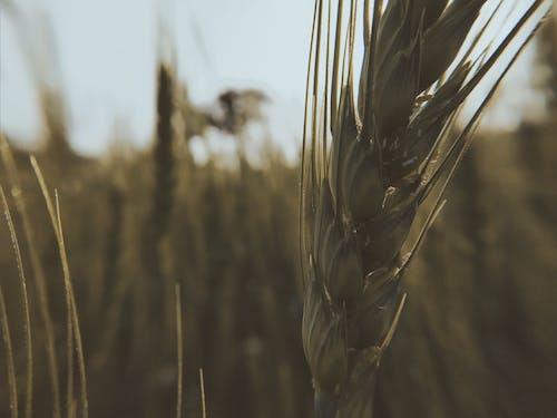 Foto profissional grátis de botânica, campo de trigo, plantas verde-escuras, trigo