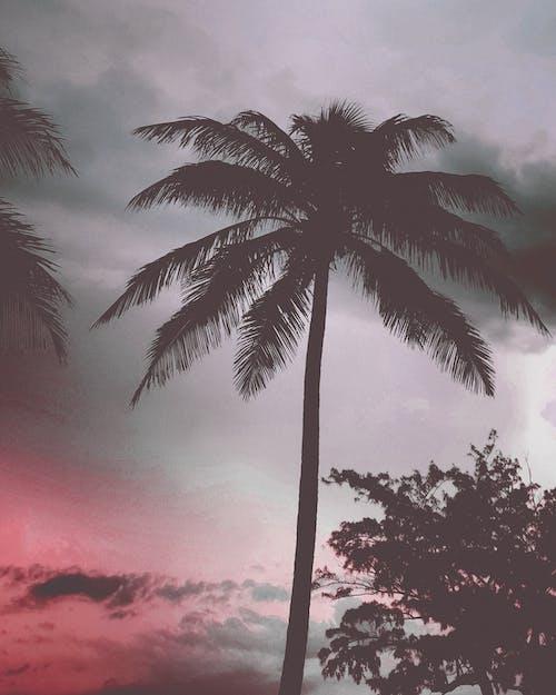 影響, 椰子, 玫瑰, 紅色 的 免費圖庫相片