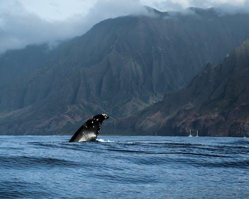 Gratis arkivbilde med dyr, fjell, hav, hawaii
