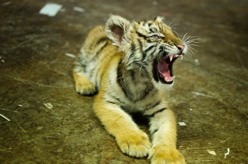 Photos gratuites de tigre