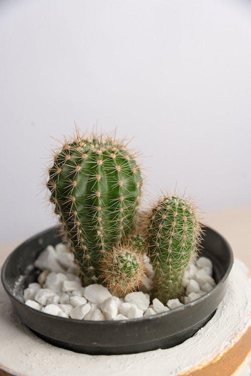 Foto d'estoc gratuïta de cactus, fotografia de natura, fulla verda, planeta