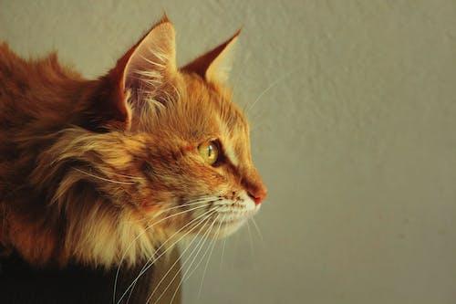 Fotobanka sbezplatnými fotkami na tému domáce zvieratá, krásny, mačací, mačka