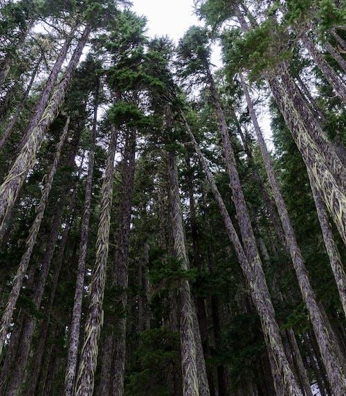 Imagine de stoc gratuită din codru, copaci înalți, crengi