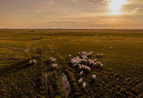 Ảnh lưu trữ miễn phí về bắn góc cao, bầy đàn, bình minh, bò cái
