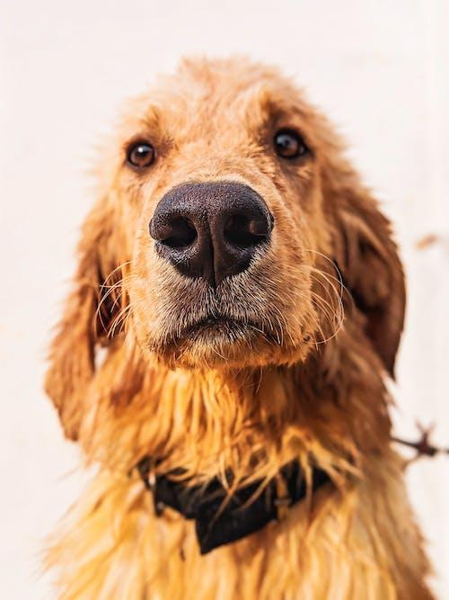 4k 桌面, 寵物狗, 小狗, 黃金獵犬 的 免費圖庫相片