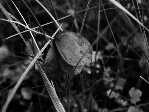 Fotobanka sbezplatnými fotkami na tému beatiful, čierna a biela, kvet, mŕtvy kvet