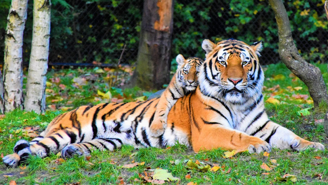 Photo of Tiger and Cub Lying Down on Grass
