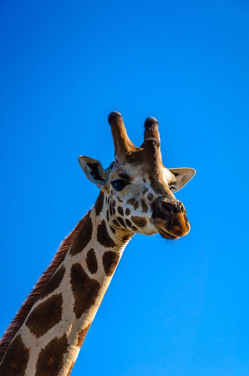 Portrait photo of a giraffe isolated on blue background