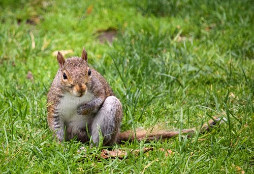 Photo of a brown and grey squirrel sitting on grass field