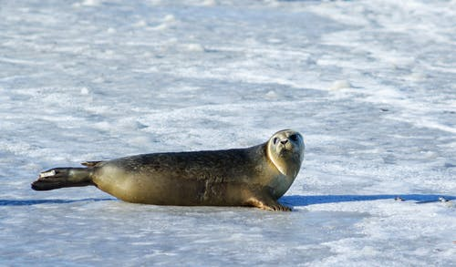 Photo of Gray Seal on Ice