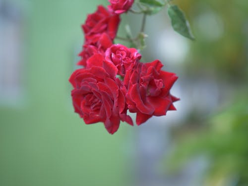 Free stock photo of bokeh isolation, Red Rose, red rose bokeh, red rose isolation