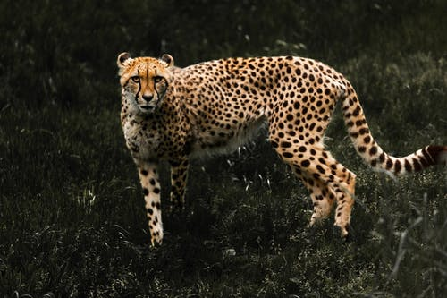 Photo of a Cheetah
